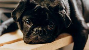 Preview wallpaper pug, dog, glance, sad, pet, black