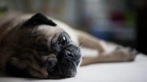 Preview wallpaper pug, dog, muzzle, lies
