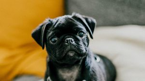 Preview wallpaper pug, dog, puppy, pet