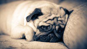 Preview wallpaper pug, lie down, sleep, muzzle