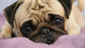 Preview wallpaper pug, puppy, snout, eyes, lie