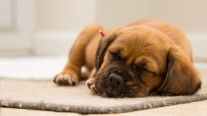 Preview wallpaper puppy, dog, muzzle, sleep