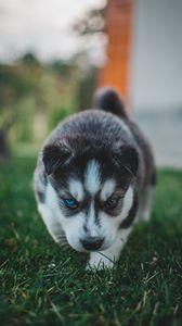 Preview wallpaper puppy, husky, dog, cute, heterochromia