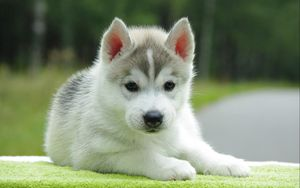 Preview wallpaper puppy, husky, down, cute