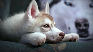Preview wallpaper puppy, husky, sadness, suspense, loyalty, face