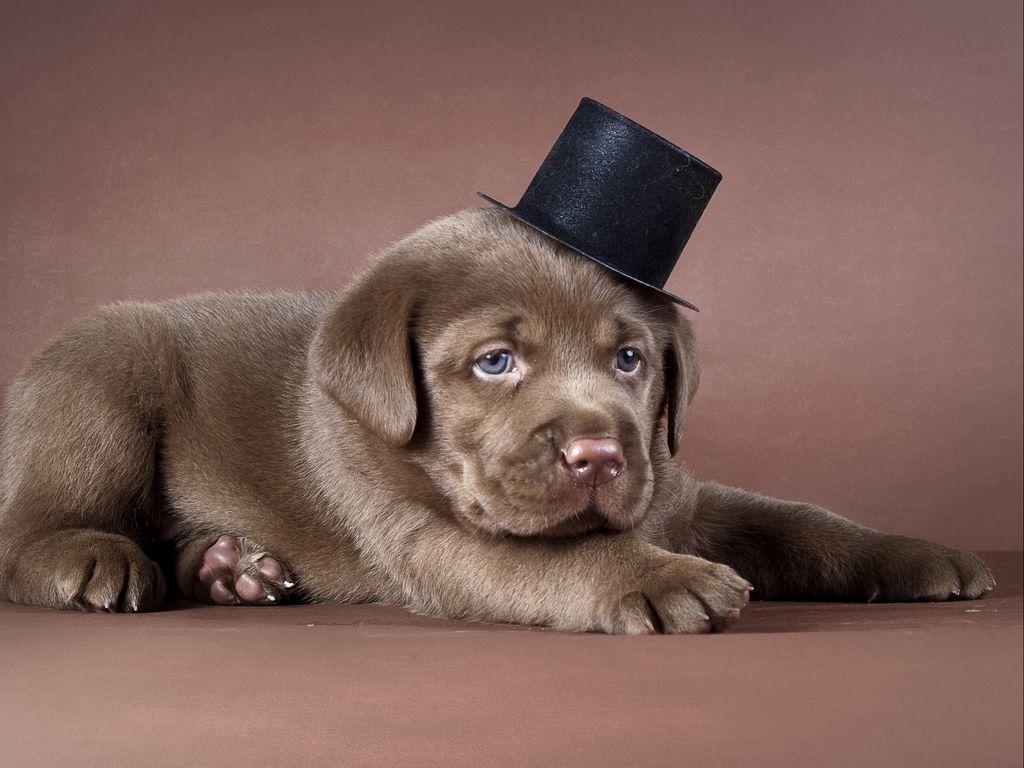 1024x768 Wallpaper puppy, labrador, hat, dog