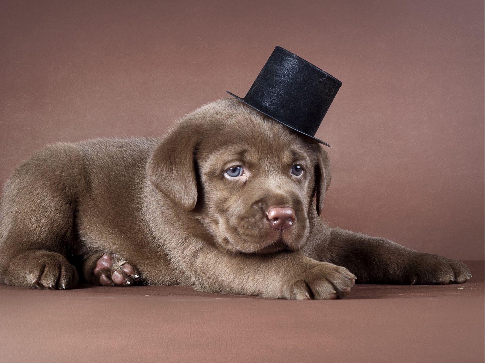 1600x1200 Wallpaper puppy, labrador, hat, dog