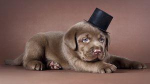 Preview wallpaper puppy, labrador, hat, dog