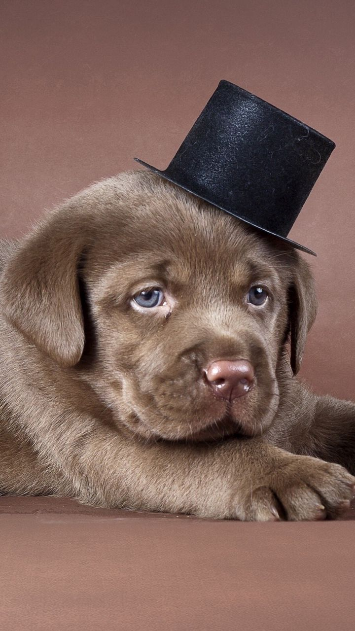 720x1280 Wallpaper puppy, labrador, hat, dog