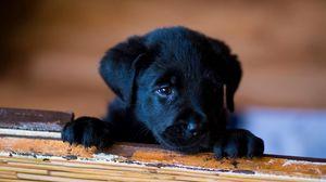 Preview wallpaper puppy, labrador, retriever, look