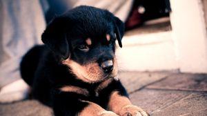 Preview wallpaper puppy, rottweiler, cute, baby