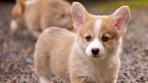 Preview wallpaper puppy, snout, eyes, grass, ears