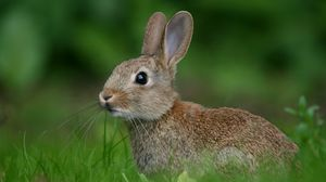 Preview wallpaper rabbit, hare, look