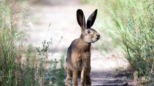 Preview wallpaper rabbit, walk, jog, grass