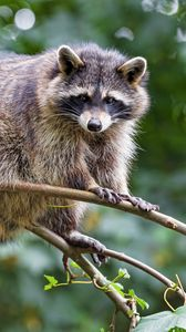 Preview wallpaper raccoon, animal, cute, funny, branch