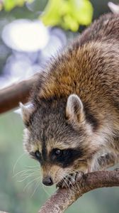 Preview wallpaper raccoon, animal, funny, branch