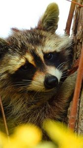 Preview wallpaper raccoon, animal, muzzle, branches, tree