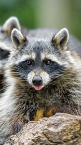 Preview wallpaper raccoon, animal, protruding tongue, muzzle