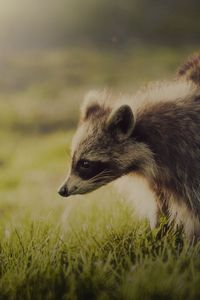 Preview wallpaper raccoon, animal, shadow, interest