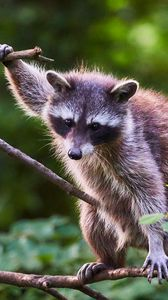 Preview wallpaper raccoon, animal, tree, branches