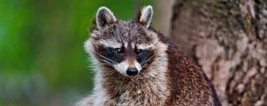 Preview wallpaper raccoon, animal, tree, striped