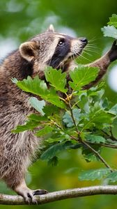 Preview wallpaper raccoon, branch, climbing, leaves