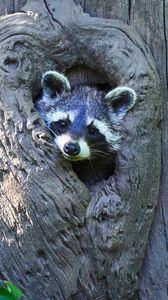 Preview wallpaper raccoon, cute, face, tree