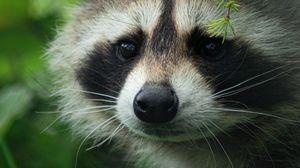 Preview wallpaper raccoon, cute, muzzle, animal