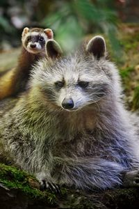 Preview wallpaper raccoon, ferret, friends, animals