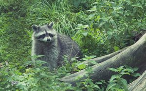Preview wallpaper raccoon, forest, grass