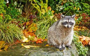 Preview wallpaper raccoon, grass, autumn, sit