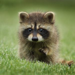 Preview wallpaper raccoon, grass, muzzle, animal, walk
