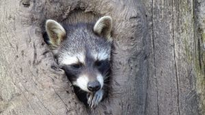 Preview wallpaper raccoon, hollow tree, face, striped