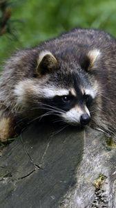 Preview wallpaper raccoon, lies, striped