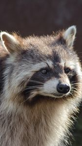 Preview wallpaper raccoon, muzzle, striped