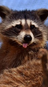 Preview wallpaper raccoon, protruding tongue, muzzle