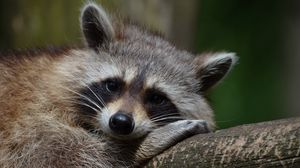 Preview wallpaper raccoon, snout, animal, lying