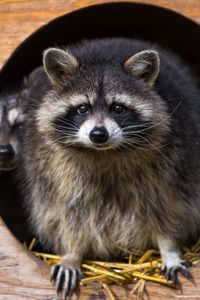 Preview wallpaper raccoon, striped, animal, grass, couple