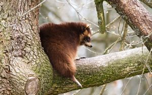 Preview wallpaper raccoon, tree, branch, animal