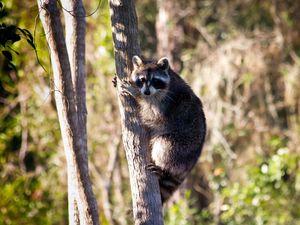 Preview wallpaper raccoon, tree, grass, sit