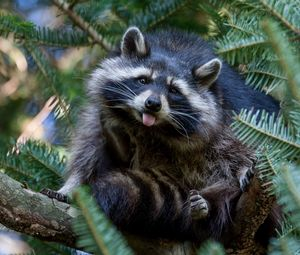 Preview wallpaper raccoon, tree, nature