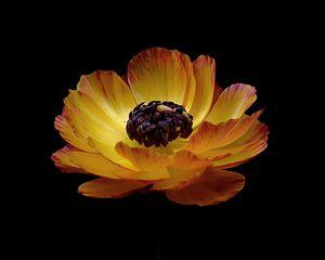 Preview wallpaper ranunculus, flower, stem, bud