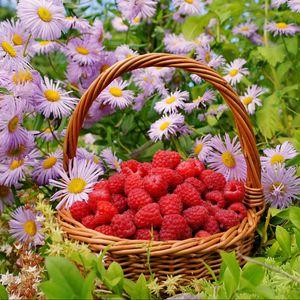Preview wallpaper raspberries, berries, baskets, flowers