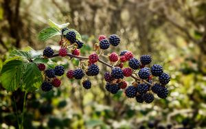 Preview wallpaper raspberries, blackberries, berries, branch