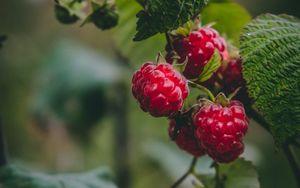 Preview wallpaper raspberry, berries, macro, fruit, plant
