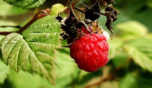 Preview wallpaper raspberry, berry, branch, leaves