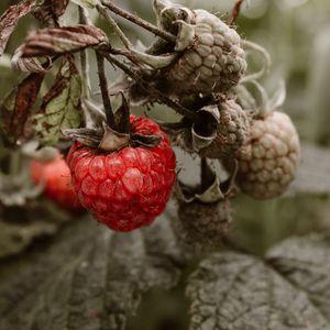 Preview wallpaper raspberry, berry, bush