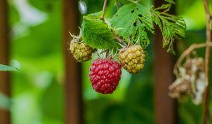 Preview wallpaper raspberry, berry, bush, close-up