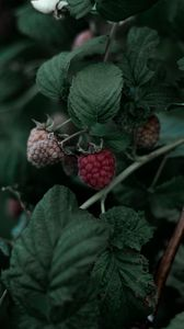 Preview wallpaper raspberry, berry, leaves, branch