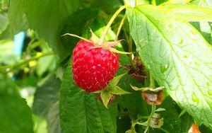 Preview wallpaper raspberry, berry, leaves, branch, macro